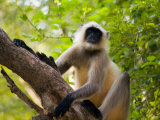 Monkey in Jungle of Ranthambore National Park, Rajasthan, India Photographic Print by Bill Bachmann