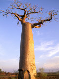 Giant Baobab Tree, Morondava, Madagascar Photographic Print by Pete Oxford
