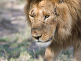 Battle-Scarred Lion Portrait, Tanzania Photographic Print by Charles Sleicher
