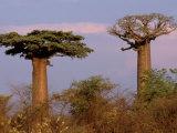 Baobab Tree, Morondava, Madagascar Photographic Print by Pete Oxford