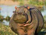 Hippopotamus, Tanzania Photographic Print by Charles Sleicher