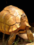 Plough-share Tortoise, Ampijeroa Forest Station, Madagascar Photographic Print by Pete Oxford