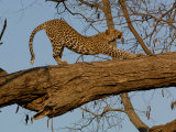 Leopard Female Stretching, Savuti Channal, Linyanti Area, Botswana Photographic Print by Pete Oxford