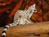 Common Genet in the Ndutu Lodge, Tanzania Photographic Print by Charles Sleicher