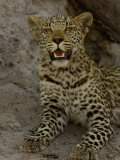 Leopard Female Cub, Savuti Channal, Linyanti Area, Botswana Photographic Print by Pete Oxford