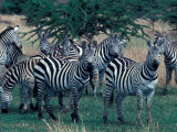 Plains Zebras, Serengeti National Park, Tanzania Photographic Print by Art Wolfe