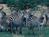 Plains Zebras, Serengeti National Park, Tanzania Photographic Print by Art Wolfe