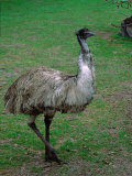Emu Portrait, Australia Photographie par Charles Sleicher