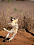 Verreaux's Sifaka, Berenty, Madagascar Photographic Print by Pete Oxford