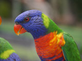Rainbow Lorikeet, Australia Photographic Print by David Wall