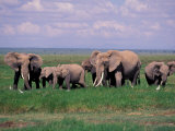 African Elephant Herd and Cattle Egrets, Amboseli National Park, Kenya Photographic Print by Art Wolfe