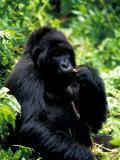 Mountain Gorilla, Virunga Volcanoes National Park, Rwanda Fotodruck von Art Wolfe