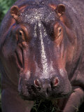 Hippo, Amboseli National Park, Kenya Photographic Print by Art Wolfe