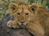 Portrait of a Lion, Kenya Photographic Print by Art Wolfe