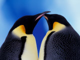 Emperor Penguin Pair, Antarctica Fotodruck von Art Wolfe
