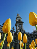 Tulips and Municipal Chambers Clocktower, Octagon, Dunedin, New Zealand Photographic Print by David Wall