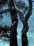 Aleppo Pines, Cassis, Provence, France Fotodruck von Art Wolfe