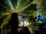 Tree Ferns, Catlins, South Island, New Zealand Photographic Print by David Wall
