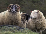 Sheep, Isle of Skye, Scotland Fotoprint van Art Wolfe