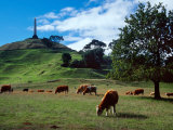 Cows, One Tree Hill, Auckland Photographic Print by David Wall