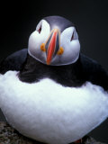 Atlantic Puffin, Iceland Photographie par Art Wolfe