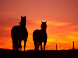 Horses at Sunset near Ranfurly, Maniototo, Central Otago Photographic Print by David Wall
