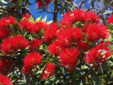 Pohutukawa Flowers Photographic Print by David Wall