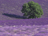 Lavender Fields, Sault, Provence, France Photographic Print by Art Wolfe