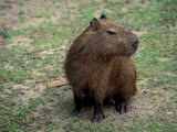 Capybara, South America Photographic Print by Art Wolfe