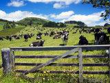Gate and Dairy Farm near Kaikohe, Northland, New Zealand Fotografisk tryk af David Wall