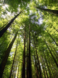 Redwood Forest, Rotorua, New Zealand Lámina fotográfica por David Wall