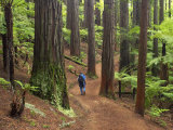 Redwood Forest, Rotorua, New Zealand Photographic Print by David Wall