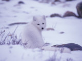 Arctic Fox, Churchill, Manitoba, Canada Photographic Print by Art Wolfe