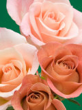 Roses Photographic Print by Jamie & Judy Wild