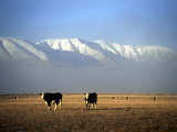 Cows and Hawkdun Range, Maniototo, Central Otago Photographic Print by David Wall