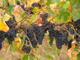 Red Grapes, Vineyard near Myrtleford, Victoria, Australia Photographic Print by David Wall