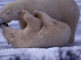 Polar Bear, Churchill, Manitoba, Canada Photographic Print by Art Wolfe