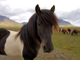 Icelandic Horses, Iceland Photographic Print by Lisa S. Engelbrecht
