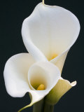 White Calla Lilies Photographic Print by Jamie &amp; Judy Wild