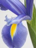 Purple Iris Photographic Print by Jamie & Judy Wild