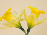 Yellow Daffodils Photographic Print by Jamie &amp; Judy Wild