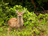 Fawn, Sitka Black Tailed Deer, Queen Charlotte Islands, Canada Photographic Print by Savanah Stewart