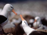 Black Browed Albatross Photographic Print by Charles Sleicher