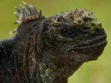 Marine Iguana in Vegetation, Puerta Ayora, Santa Cruz Island, Galapagos Islands, Ecuador Photographic Print by Pete Oxford