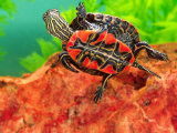 Red Belly Turtle Hatchling, Native to Southern USA Photographic Print by David Northcott
