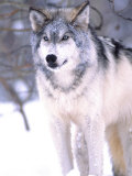 Timber Wolf, Utah, USA Photographic Print by David Northcott