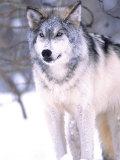 Timber Wolf, Utah, USA Photographic Print by David Northcott