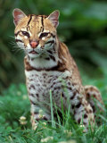 Ocelot Sitting in Grass Photographic Print by Art Wolfe