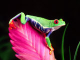 Red Eye Tree Frog on Bromeliad, Native to Central America Photographic Print by David Northcott