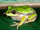 Masked Tree Frog, Native to Mexico Photographic Print by David Northcott